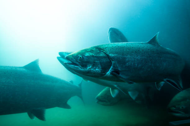 Salmon School River. School of Salmon swimming upstream in the Columbia River, Oregon. salmonidae stock pictures, royalty-free photos & images
