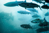 istock Salmon School Underwater. 187046026