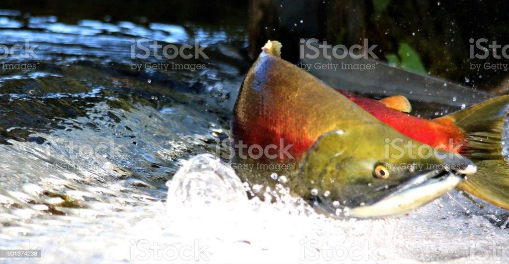 Salmon Spawning stock photo