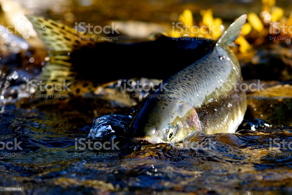 Salmon swimming upstream in clear water stock photo