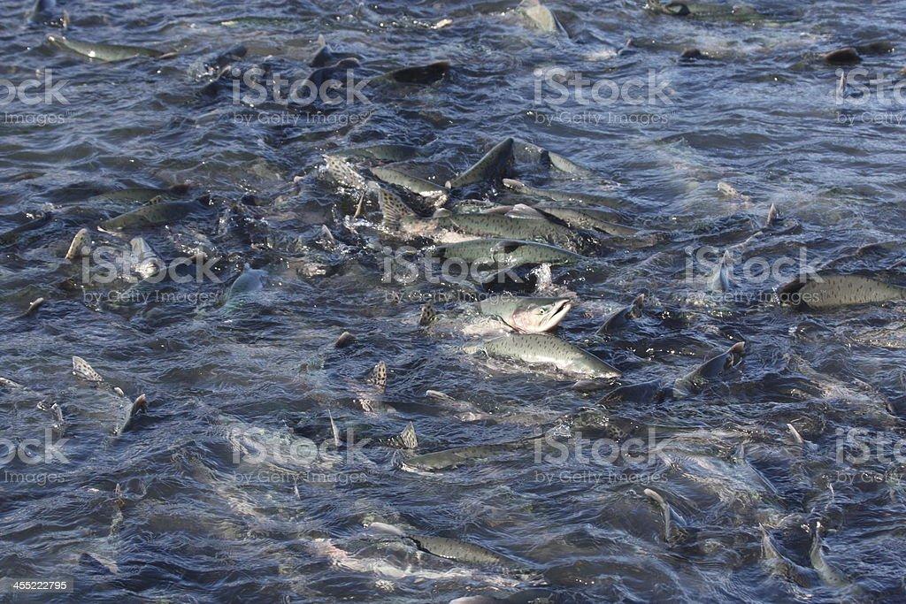 Salmon swimming upstream stock photo