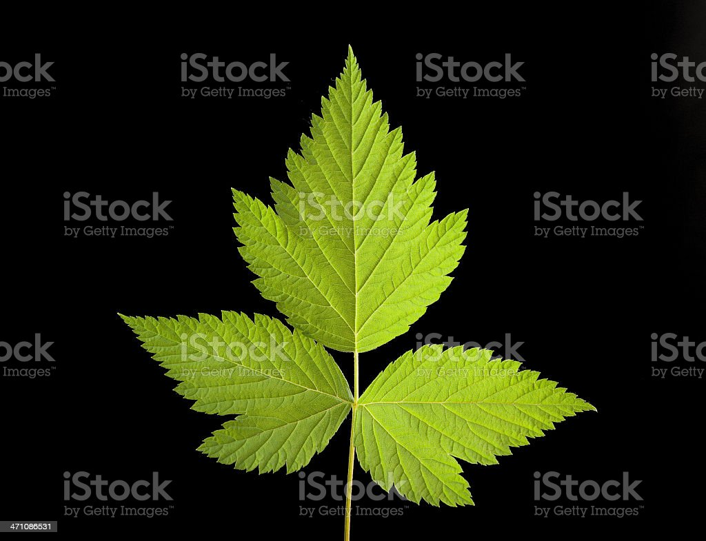 salmonberry leaf on black royalty-free stock photo