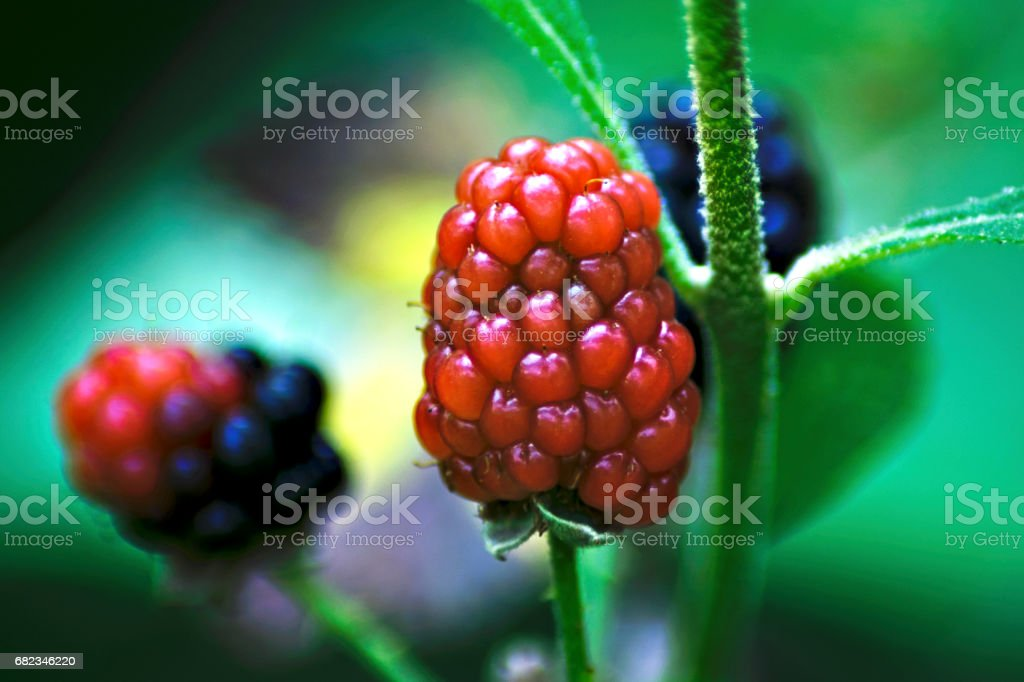 Salmonberry royalty free stockfoto