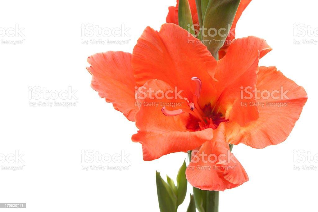 salmon-colored gladiolus royalty-free stock photo