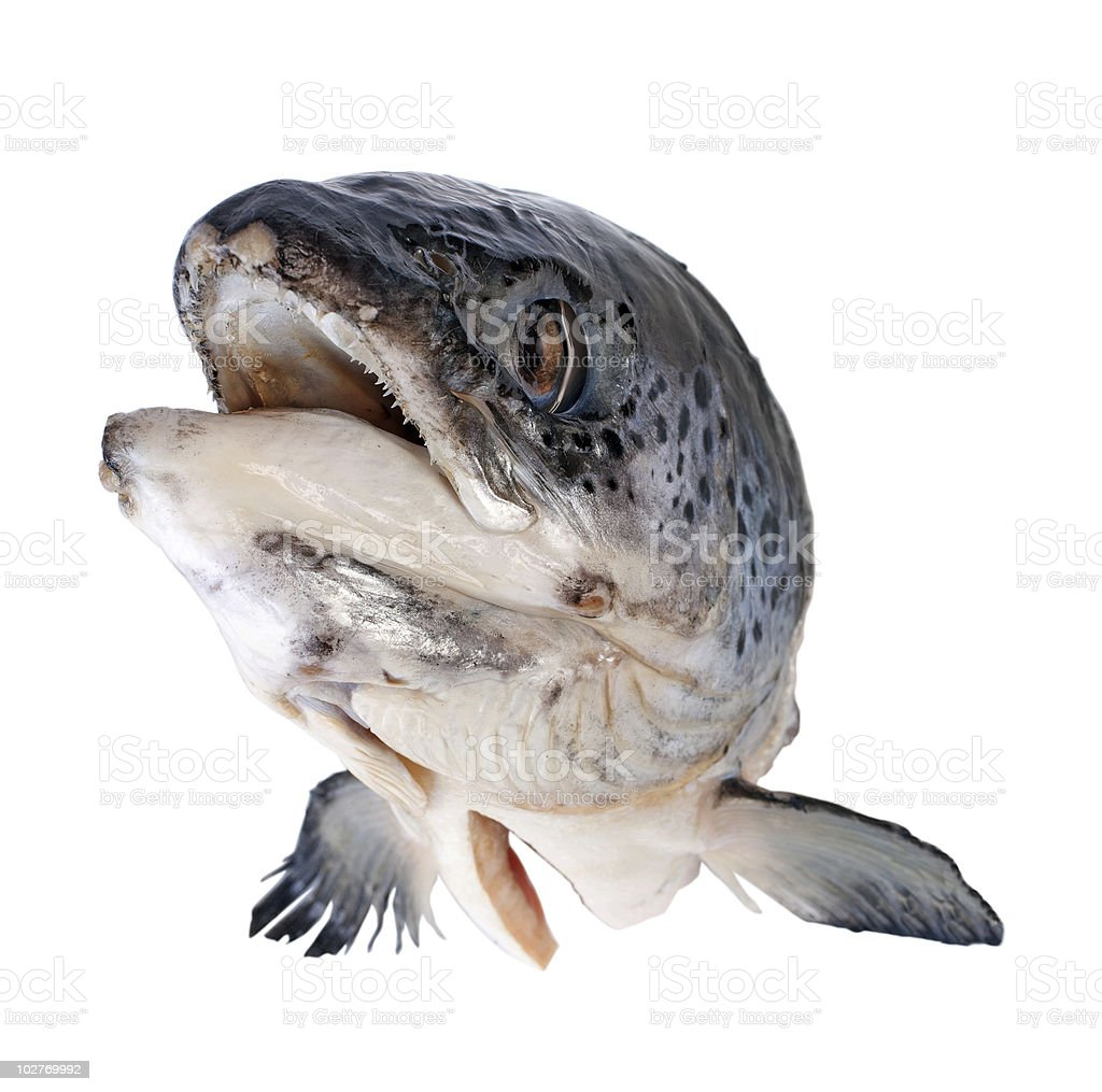 Salmon's head with clipping path royalty-free stock photo