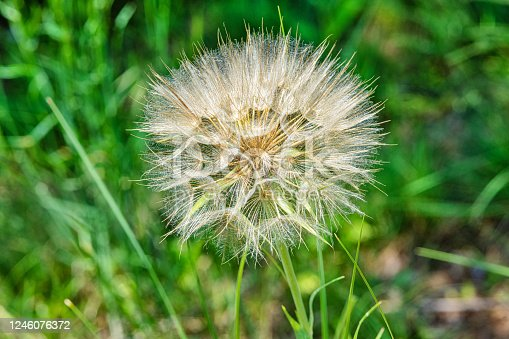 Salsify (Tragopogon porrifolius). A large dandelion looking seedhead called Yellow Goats Beard also known as Western Salsify.