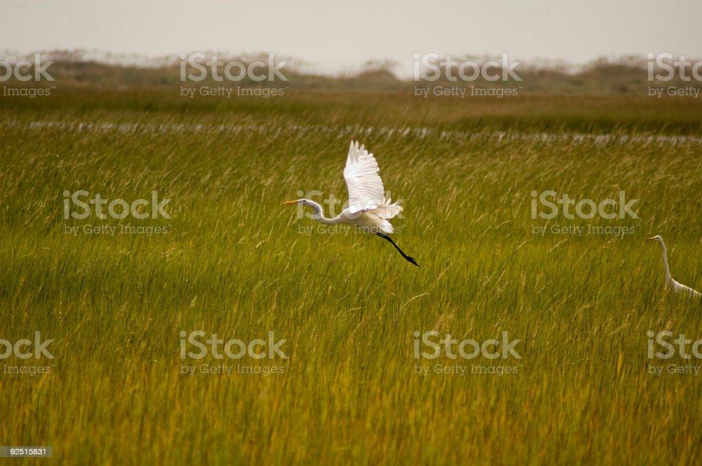 Salt March Egret royalty-free stock photo