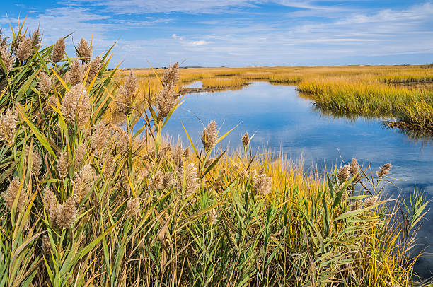 salt marsh gold - introduced species stock pictures, royalty-free photos & images