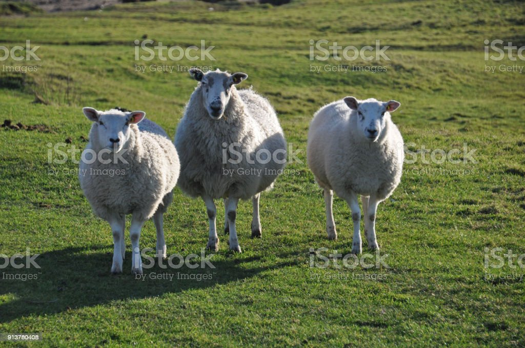 Salt Marsh Sheep stock photo