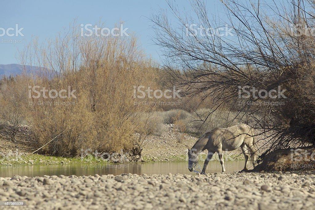 Salt River Wild Horse royalty-free stock photo