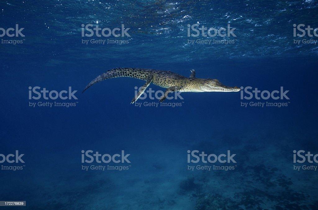 Salzwasser-Krokodilleder – Foto