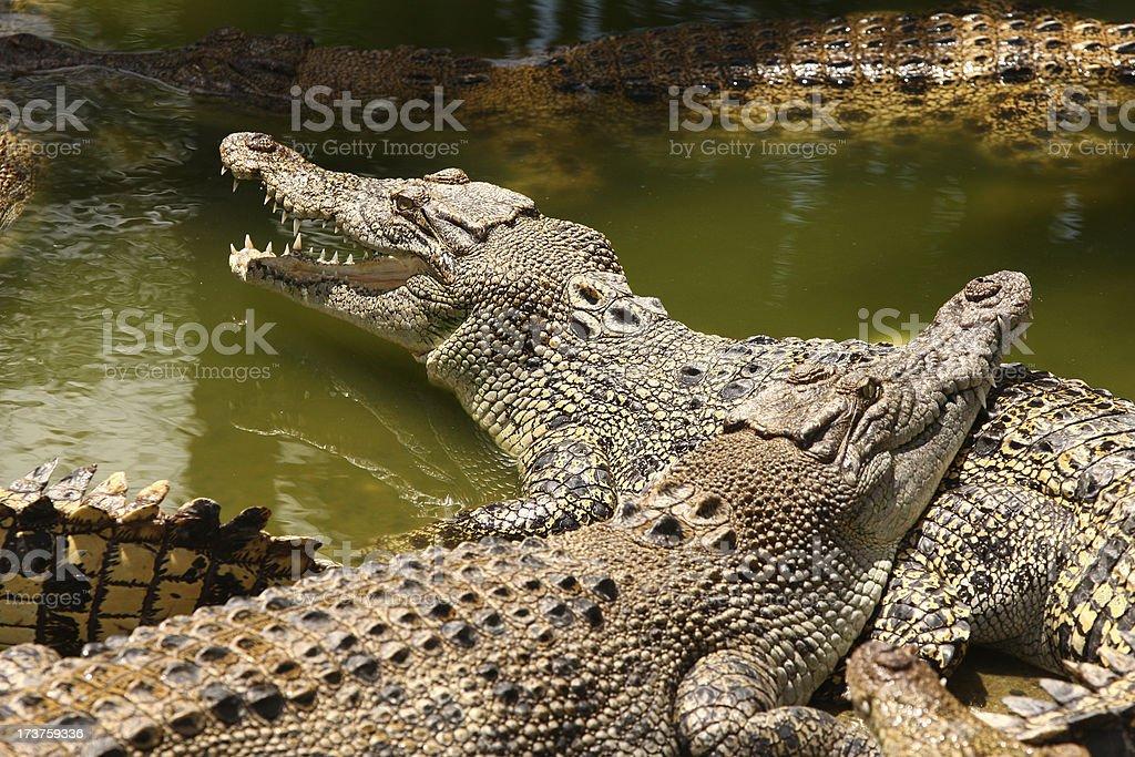 Salt water Crocodile stock photo