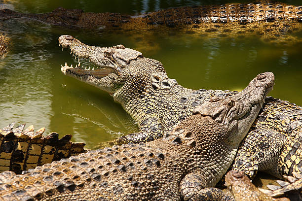 salt water crocodile - darwin stock photos and pictures