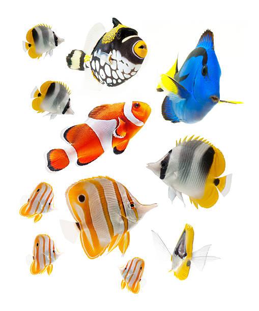 solone ryb słodkowodnych na białym tle - tropikalna ryba zdjęcia i obrazy z banku zdjęć