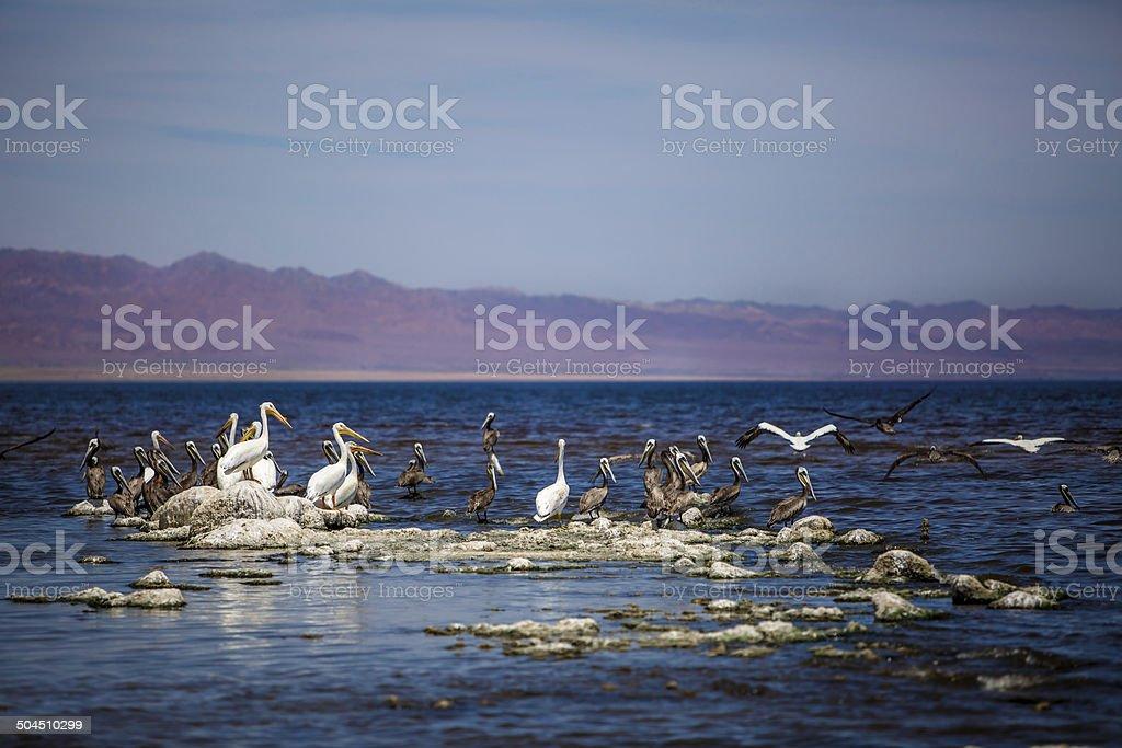 Salton Sea Birds stock photo