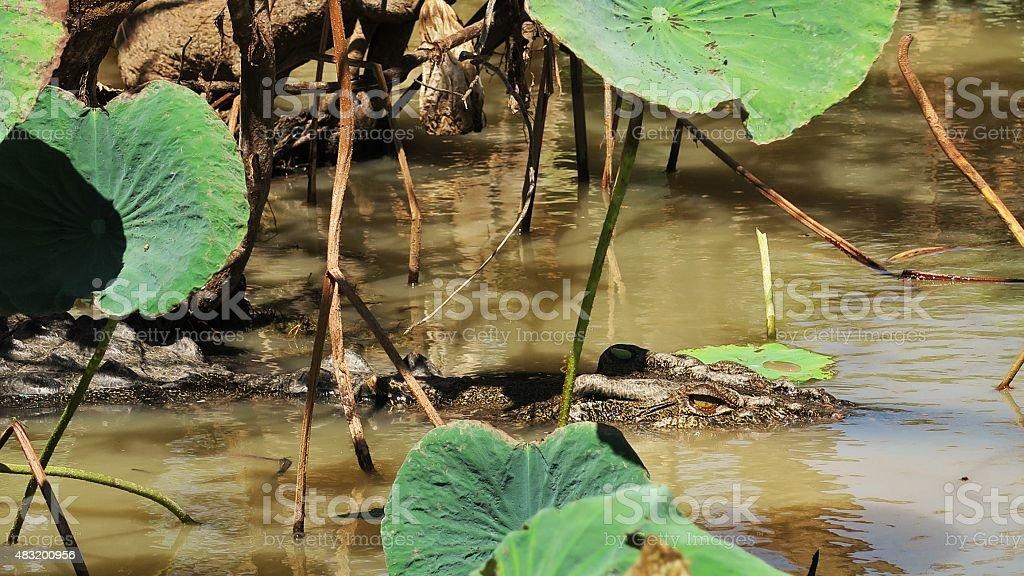Saltwater crocodile 11 stock photo