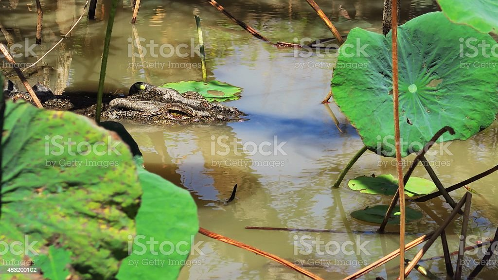 Saltwater crocodile 13 stock photo