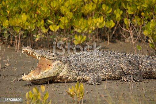 istock Saltwater Crocodile, Crocodilus porosus, Sundarbans, West Bengal, India 1187098895