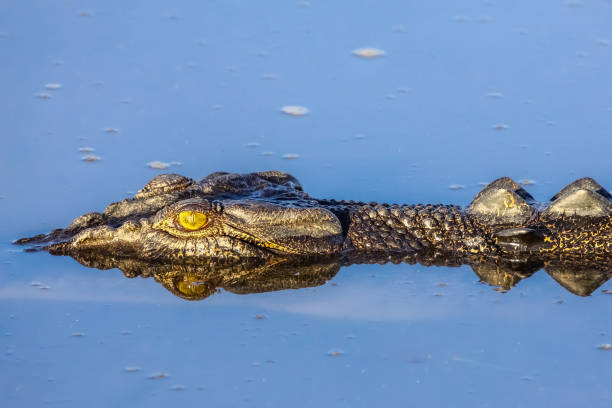 Saltwater crocodile floating on the river surface – Foto