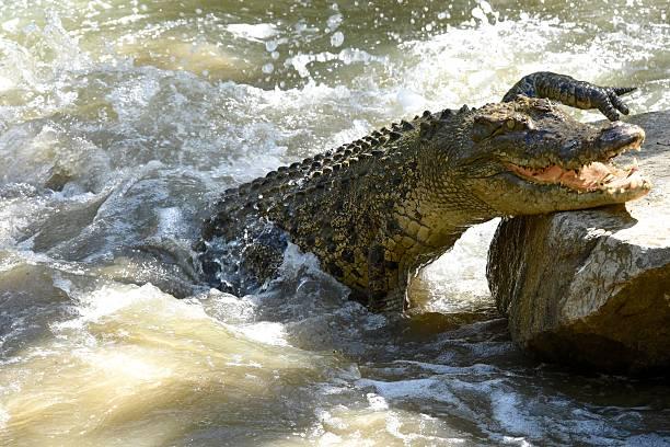 Saltwater crocodile in rage stock photo