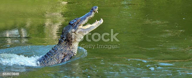 istock Saltwater crocodile leap out of the water 533923648