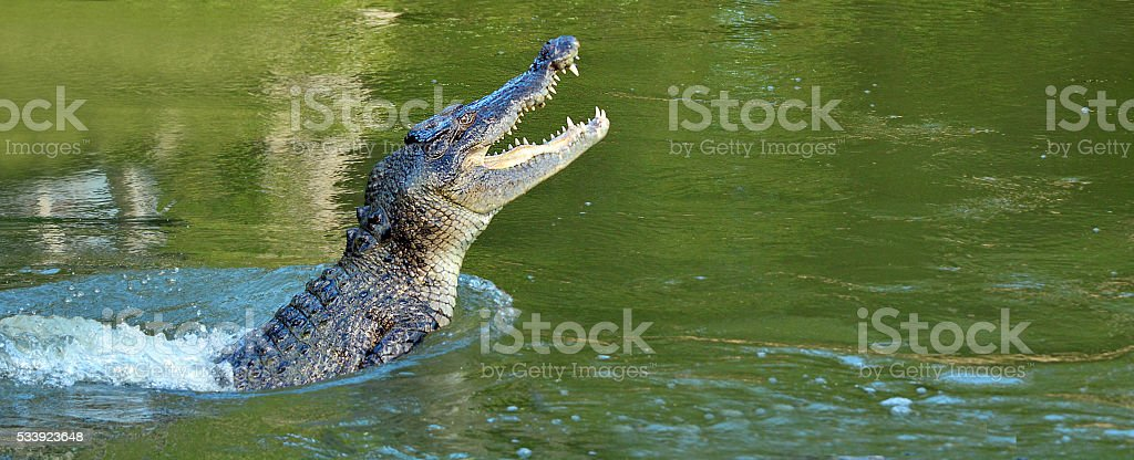 Saltwater crocodile leap out of the water stock photo