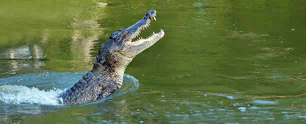 crocodile d'eau sauter hors de l'eau - Photo