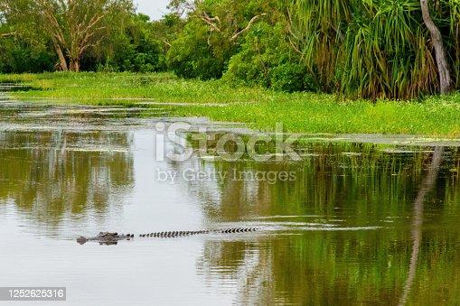 A wild saltwater crocodile swimming in the Northern Territory, Australia.