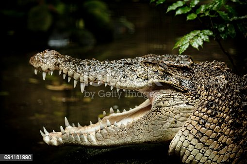 close-up of a saltwater crocodile.