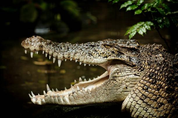 crocodile d'eau salée - Photo