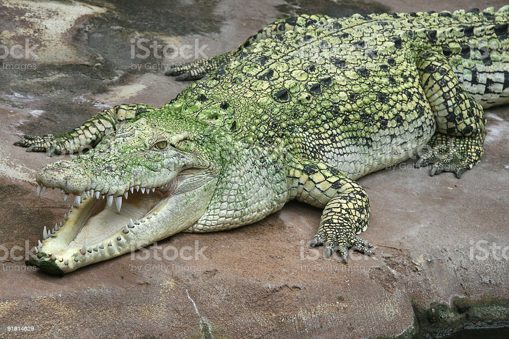 Saltwater Crocodile royalty-free stock photo