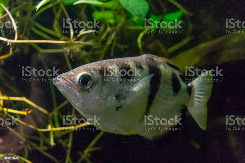 saltwater fish Aquarium closeup - Royalty-free Angelfish Stock Photo