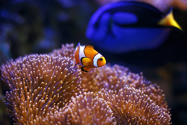 Saltwater marine fish-tank aquarium Photo showing a clownfish pictured close-up, with sea anemone coral forming the background. false clown fish stock pictures, royalty-free photos & images