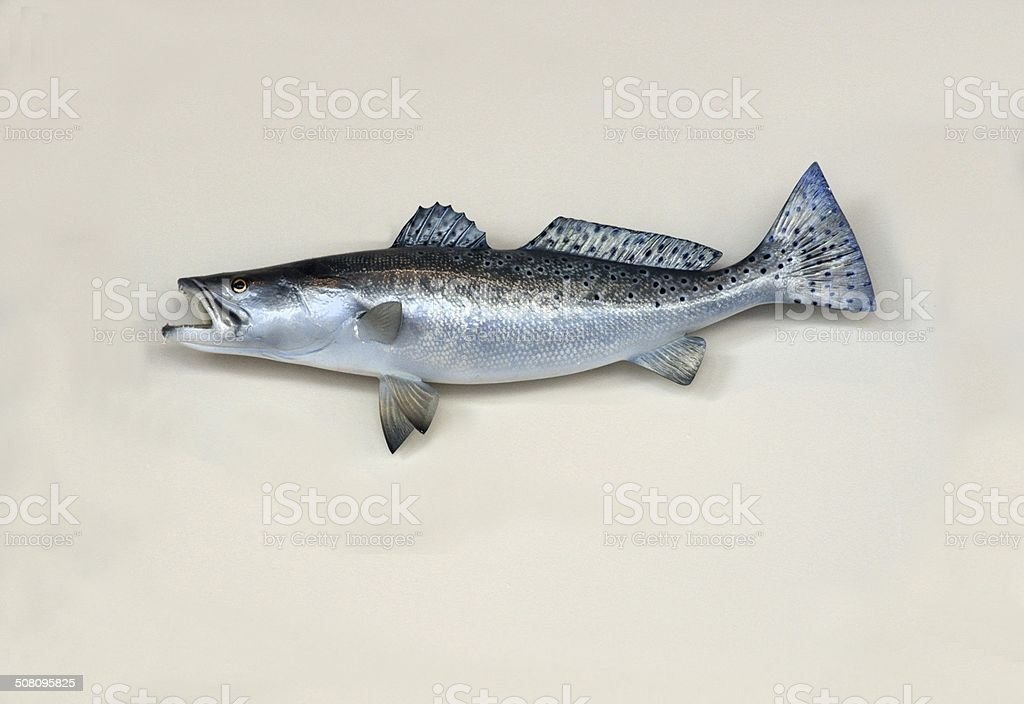 Saltwater Sea Trout stock photo