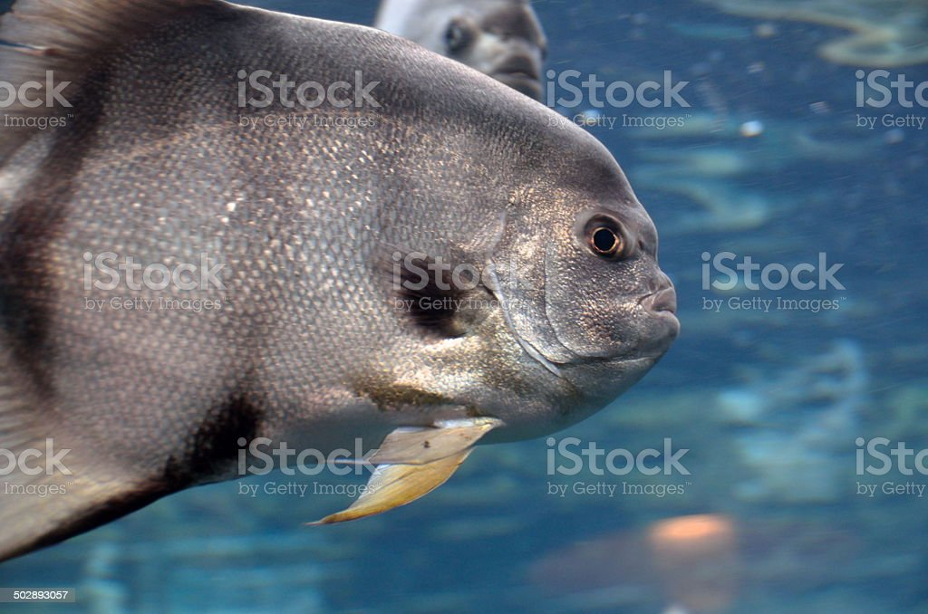 Saltwater Spadefish stock photo