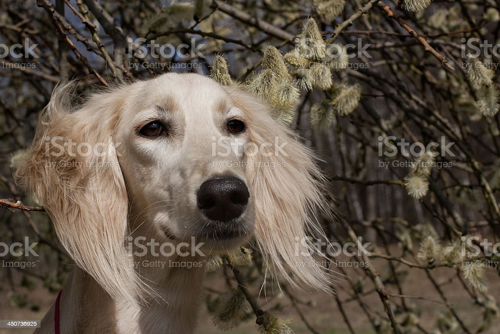 Saluki and flowers stock photo