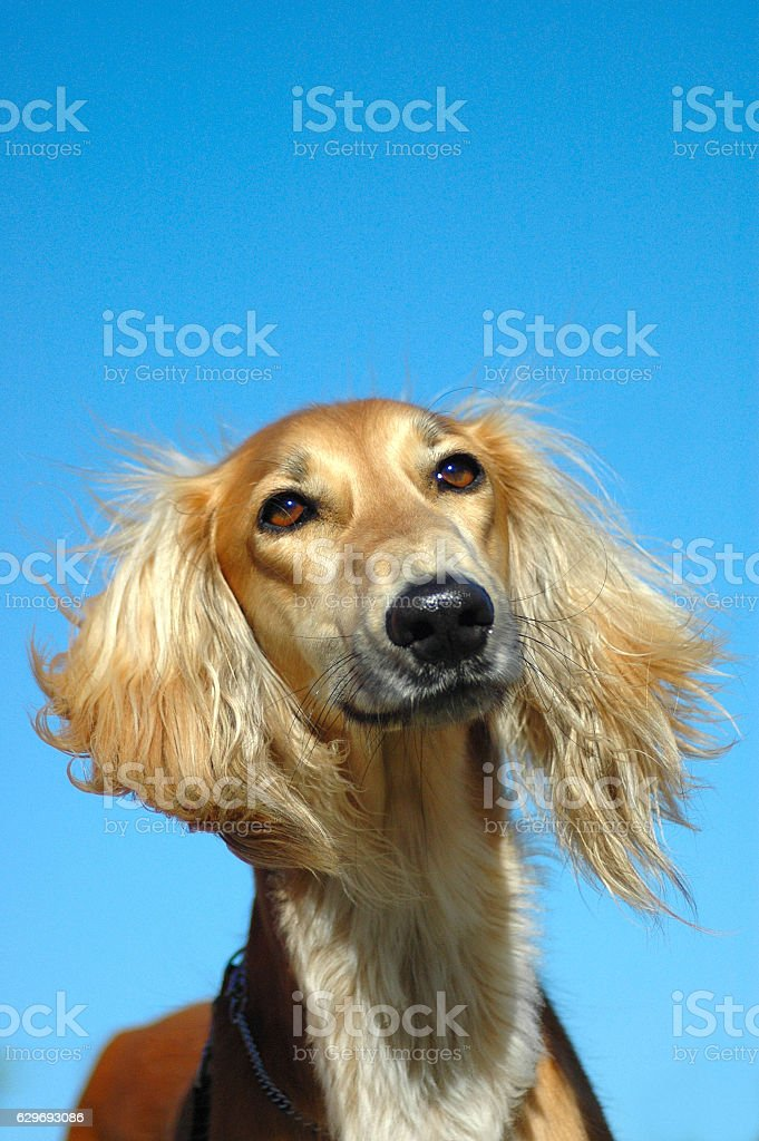 Saluki dog portrait stock photo
