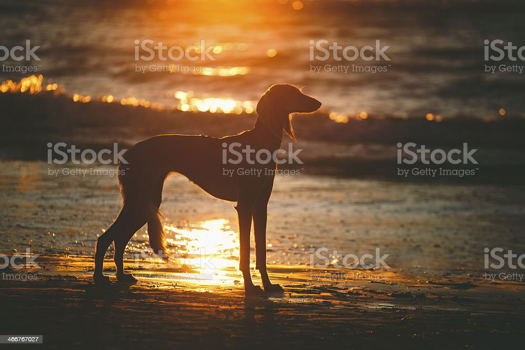 Saluki on sunset stock photo