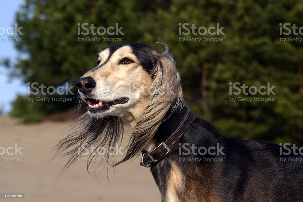 Saluki ( series) stock photo