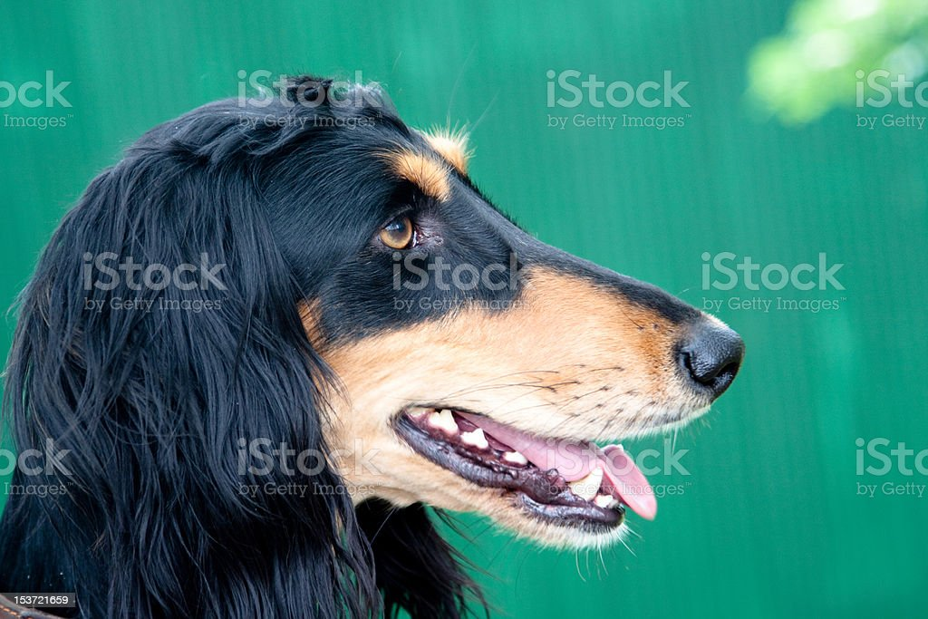 Saluki stock photo