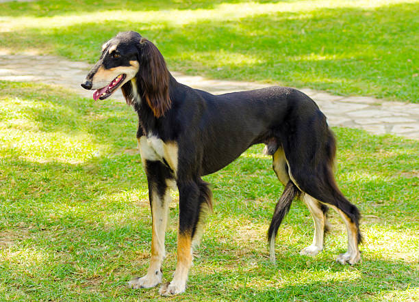 Saluki A side view of a healthy beautiful grizzle, black and tan, Saluki standing on the lawn looking happy and cheerful. Persian Greyhound dogs are slim and slender with a long narrow head. sight hound stock pictures, royalty-free photos & images
