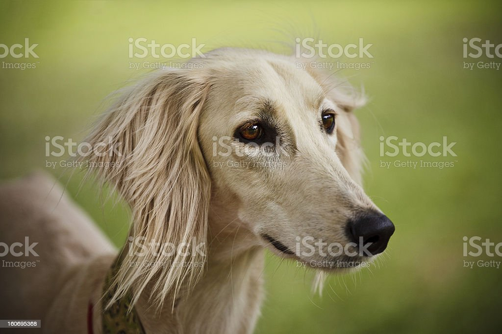 Saluki Portrait stock photo