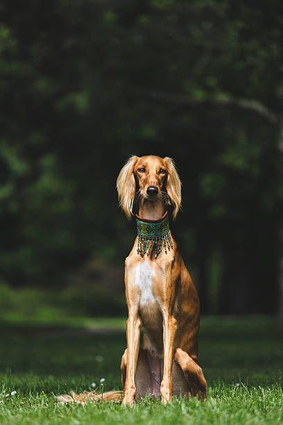 Saluki portrait Portrait of a saluki in a park sight hound stock pictures, royalty-free photos & images
