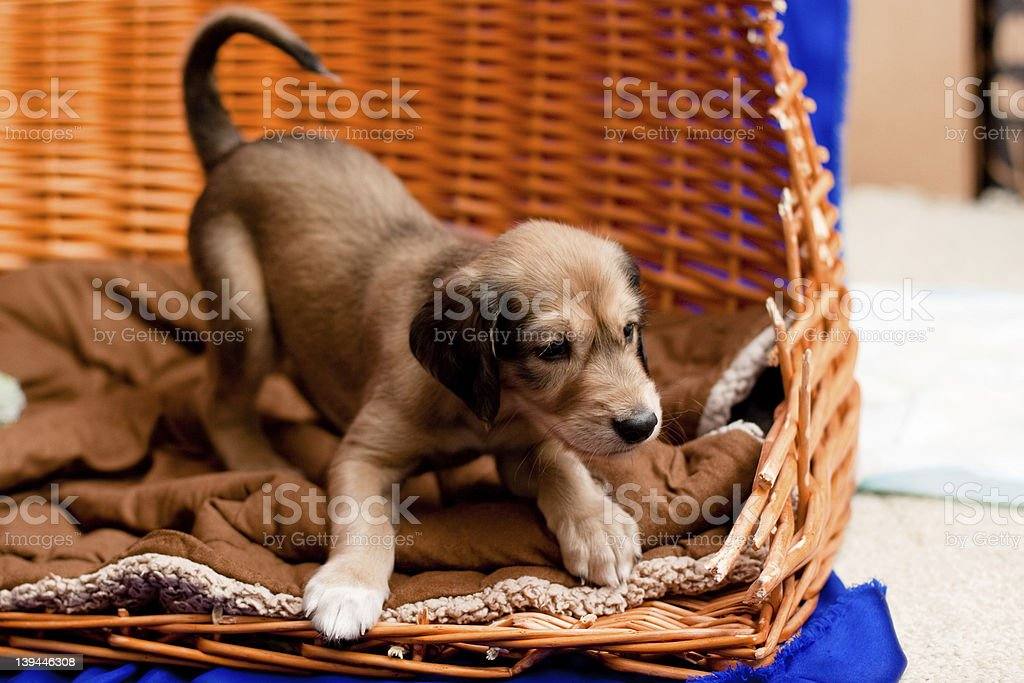 Saluki pup stock photo