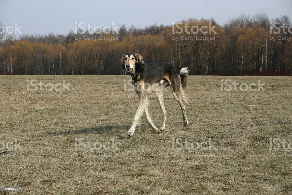 Saluki-Tarige stock photo
