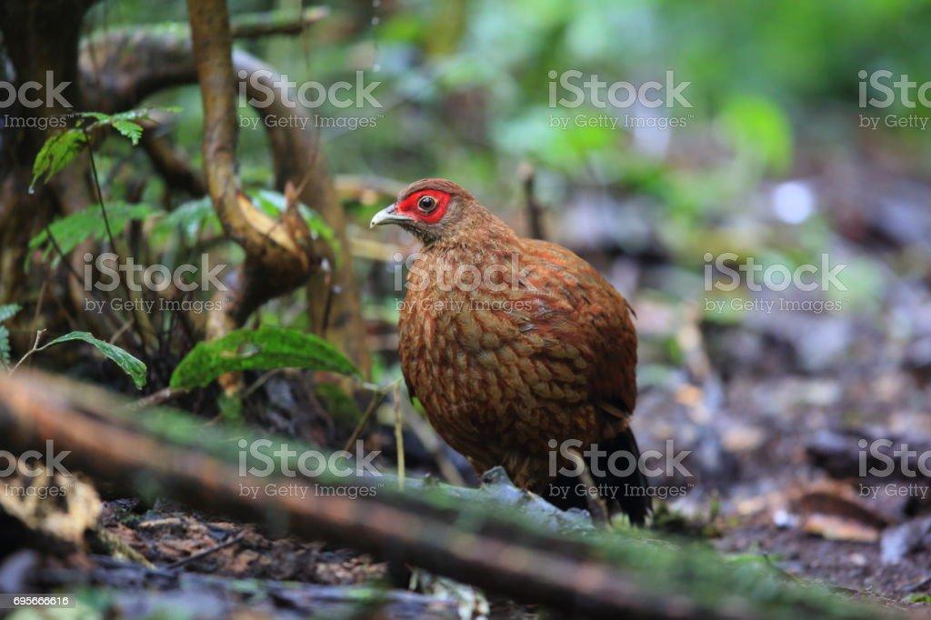 Salvadori's pheasant stock photo