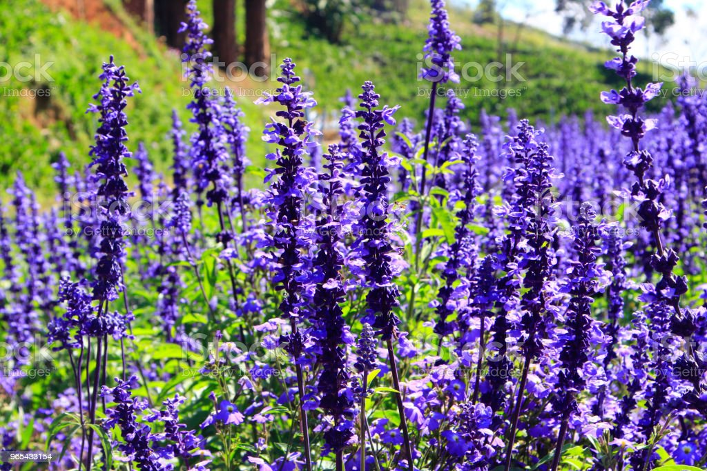 Salvia field in sunlight royalty-free stock photo