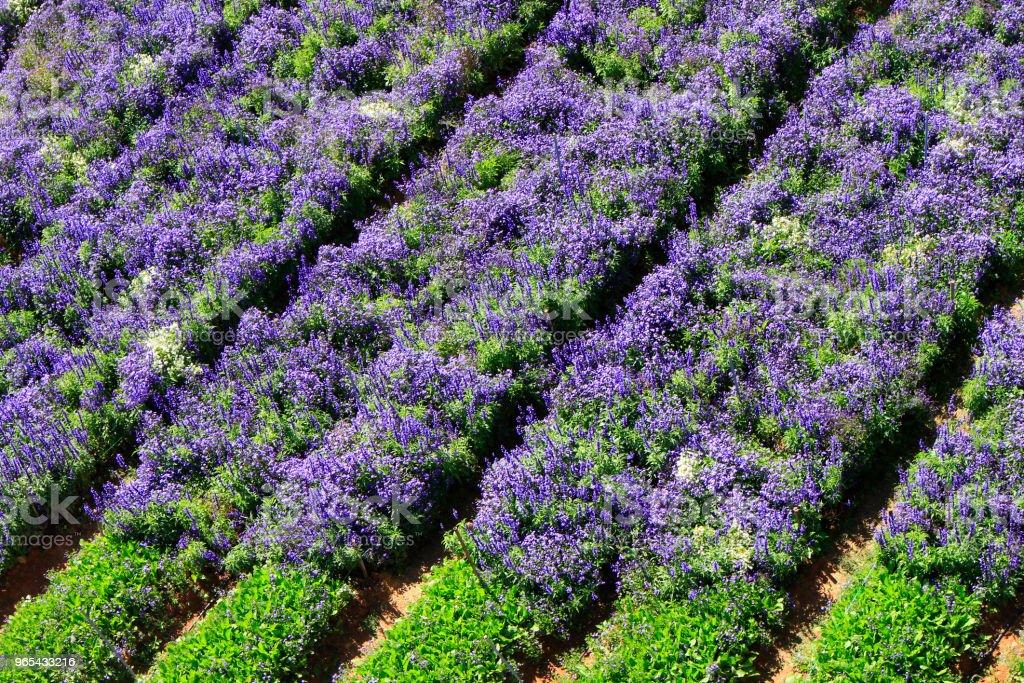 Salvia field in sunlight zbiór zdjęć royalty-free