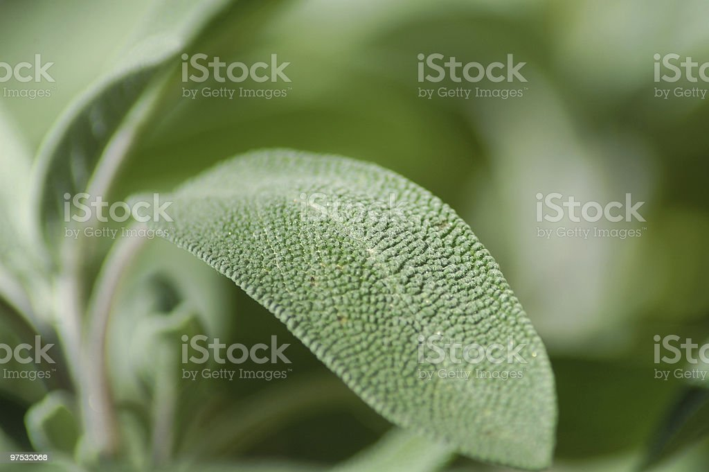 Salvia Leaf royalty-free stock photo