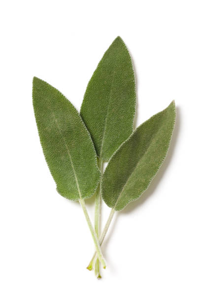 Salvia Leaves on White stock photo